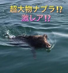2016年11月17日イノシシ泳ぐ